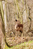Cervos na floresta européia Fotografia de Stock