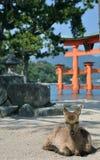 Cervos na frente do grande torii de Miyamjima, santuário de Itsukushima - ilha Japão de Miyajima imagens de stock