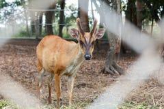Cervos na gaiola Imagens de Stock Royalty Free