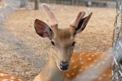Cervos na gaiola Fotografia de Stock Royalty Free