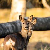 Cervos na luz da noite Imagens de Stock Royalty Free