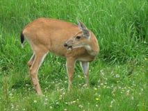 Cervos na montanha do galo silvestre Imagem de Stock Royalty Free