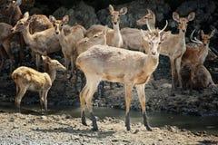 Cervos na natureza Imagem de Stock