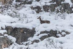 Cervos na neve Imagens de Stock