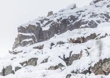 Cervos na neve Imagens de Stock Royalty Free