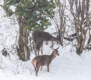 Cervos na neve Fotografia de Stock