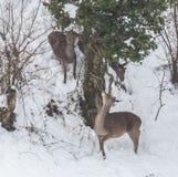 Cervos na neve Fotos de Stock Royalty Free