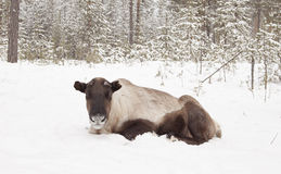 Cervos na neve. Imagem de Stock