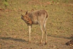Cervos na pastagem Imagens de Stock