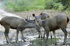 Cervos na poça Fotos de Stock Royalty Free