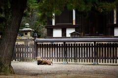 Cervos na província japão de nara Imagem de Stock