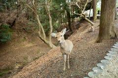 Cervos na província japão de nara fotos de stock