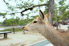 Cervos na província japão de nara Fotografia de Stock Royalty Free