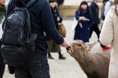 Cervos na província japão de nara imagens de stock royalty free