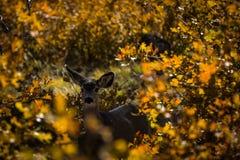 Cervos na queda Fotografia de Stock