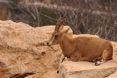 Cervos na rocha Fotografia de Stock Royalty Free