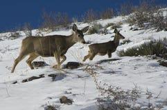 Cervos na vigia Fotografia de Stock