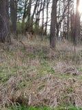 Cervos nas madeiras fotografia de stock royalty free