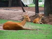 2 cervos no campo Foto de Stock