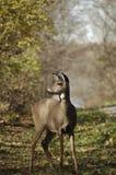 Cervos no campo Fotografia de Stock Royalty Free