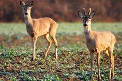 Cervos no campo Fotografia de Stock