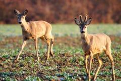 Cervos no campo Imagens de Stock Royalty Free
