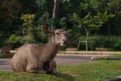 Cervos no campo de grama Fotos de Stock