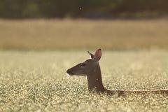 Cervos no campo dourado Fotos de Stock
