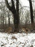 Cervos no dia da neve Foto de Stock