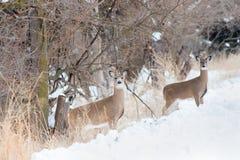 Cervos no inverno - Nebraska da cauda branca fotos de stock