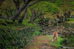 Cervos no jardim Fotografia de Stock