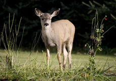 Cervos no jardim Fotos de Stock Royalty Free