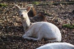 Cervos no jardim zoológico Imagens de Stock Royalty Free