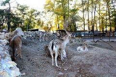 Cervos no jardim zoológico Imagem de Stock