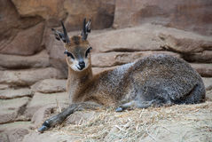 Cervos no jardim zoológico de Omaha Fotografia de Stock