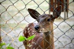 Cervos no jardim zoológico Foto através das barras Foto de Stock Royalty Free