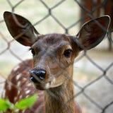 Cervos no jardim zoológico Foto através das barras Fotografia de Stock Royalty Free