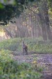 Cervos no Oostvaardersplassen Países Baixos fotografia de stock