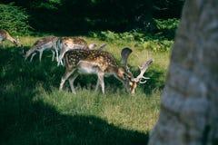 Cervos no parque de Bradgate, Reino Unido Fotografia de Stock Royalty Free