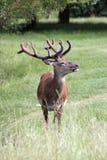 Cervos no parque de Richmond Imagem de Stock Royalty Free