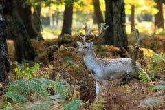 Cervos no parque de Richmond Foto de Stock