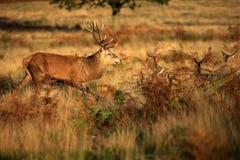 Cervos no parque de Richmond Imagem de Stock