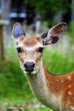 Cervos no parque dos cervos de Nara, Japão Fotos de Stock Royalty Free