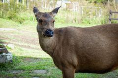 Cervos no parque nacional Foto de Stock