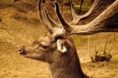 Cervos no parque natural Fotografia de Stock