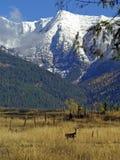 Cervos no prado Imagens de Stock Royalty Free