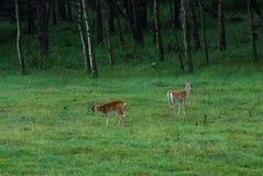 Cervos no prado Fotos de Stock Royalty Free
