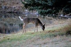 Cervos no prado foto de stock royalty free