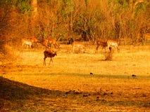 Cervos no safari Fotografia de Stock Royalty Free
