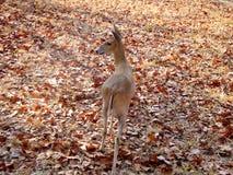 Cervos no savana Fotos de Stock